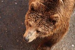 bear brown Στοκ Εικόνες