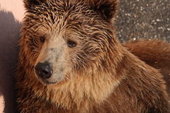 bear brown Στοκ φωτογραφίες με δικαίωμα ελεύθερης χρήσης