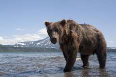 Bear. Brown bear on the background of the volcano near the shore of the Kuril lake Stock Photo