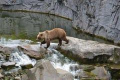 Bear, Brown Bear, Predator, Zoo Royalty Free Stock Photo