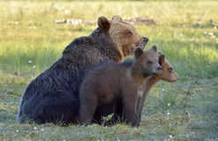 She-bear  of Brown Bear (Ursus arctos) with cubs on the swamp  in summer forest. Stock Image