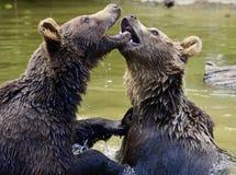 Bear, Brown Bears, Young Bear Stock Photos