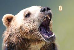Bear Royalty Free Stock Image