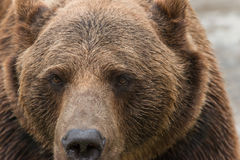 Bear 3. A brown bear closed in a cage in the zoo Royalty Free Stock Photography