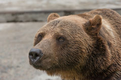 Bear 3. A brown bear closed in a cage in the zoo Stock Images