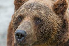 Bear 4 Royalty Free Stock Image