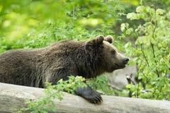 Bear Stock Photos