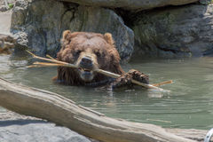 Bear brown grizzly playing in the water Stock Image