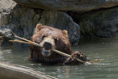 Bear brown grizzly playing in the water Stock Photos