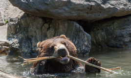 Bear brown grizzly playing in the water Stock Photography