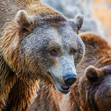 Bear. Brown Bear head, close-up shot Stock Photo