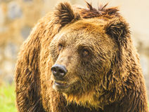 Bear. Brown bear in Jijel zoo, Algeria Stock Photo