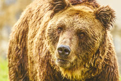 Bear Royalty Free Stock Image