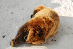 Bear. Brown bear playing in the snow Stock Image