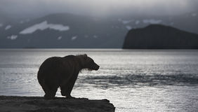Bear. Brown bear is on the shore of the lake at sunrise Royalty Free Stock Images