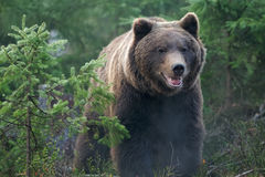 Bear. Brown young bear in forest Royalty Free Stock Images