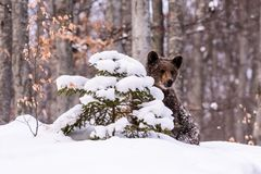 Bear bruin in the forest. Bear in winter time in the forest Stock Photography