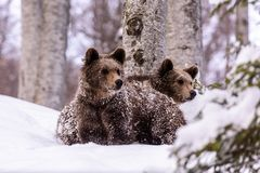 Bear bruin in the forest. Bear in winter time in the forest Royalty Free Stock Photo