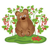 Bear in the bushes of raspberries Stock Images