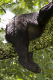 Bear Butt in Tree. A Black Bear's Rear End in a TRee with Legs hanging down Royalty Free Stock Image