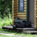 Bear on cabin porch. A black bear laying on a cabin porch Stock Images