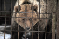 Bear in a cage Royalty Free Stock Images