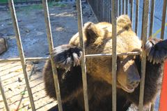 Bear in a cage. In a zoo Royalty Free Stock Image
