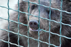 Bear in cage. Brown bear in a cage, captive, wants freedom Stock Photography