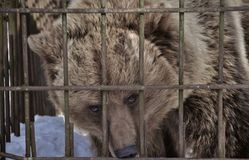 A bear in the cage. It's not a zoo... It's a shelter for wild animals which are not able to survive in nature alone. Most of them were used for hounding. Hunters Royalty Free Stock Photography