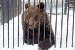 Bear in a cage Royalty Free Stock Photography
