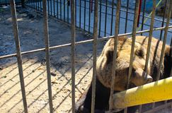 Bear in a cage. In a zoo Royalty Free Stock Photo