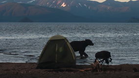Bear in  campsite stock video footage