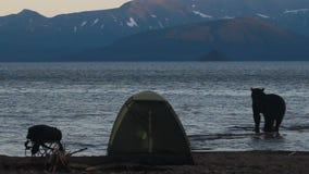 Bear in  campsite stock footage