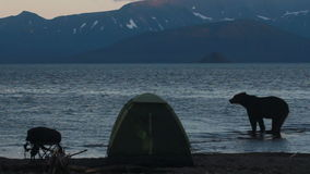 Bear in  campsite stock video
