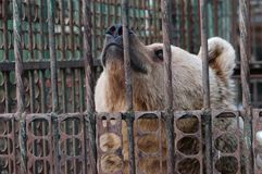 Bear in captivity Stock Images