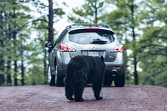 Bear and a car in a safari park Bearizona Royalty Free Stock Image