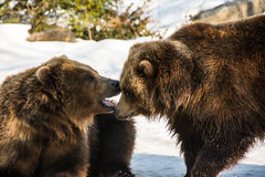 Bear Care. Bears at Bronx Zoo 2014 Winter Royalty Free Stock Photos