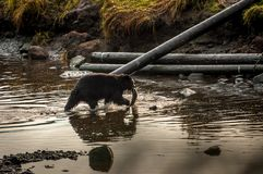Bear carries a salmon royalty free stock images