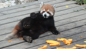 Bear cat (red panda) Royalty Free Stock Image