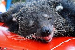 Bear cat Stock Image
