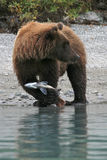 Bear with Catch Royalty Free Stock Photography