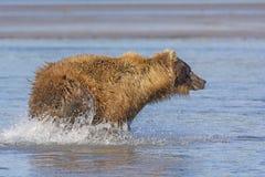 Bear Chasing fish Stock Image