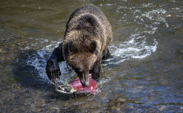 Bear claw over salmon. A grizzly bear's claw hangs ominously over a scared-looking sockeye salmon, during the summer sockeye salmon run in British Columbia Stock Photo