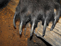 Bear claws stock photography