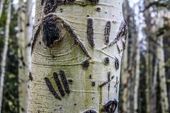 Bear claws on a birch tree. Scars gouged in, Alberta, Canada Stock Images