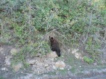 Bear climbing mountain Royalty Free Stock Image