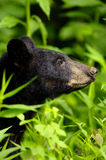 Bear close up Royalty Free Stock Images