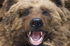 Bear closeup. Enraged brown bear close up Stock Photos