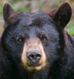Bear Closeup Royalty Free Stock Images