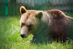 Bear closeup Stock Photography